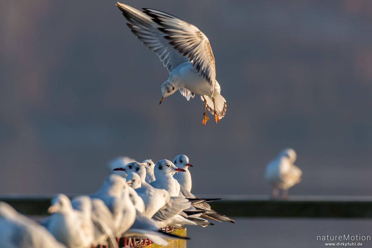 Lachmöwe, Larus ridibundus, Laridae, anfliegendes Tier, sucht Platz zwischen Gruppe auf Geländer von Badesteg, Seeburger See, Seeburger See, Deutschland