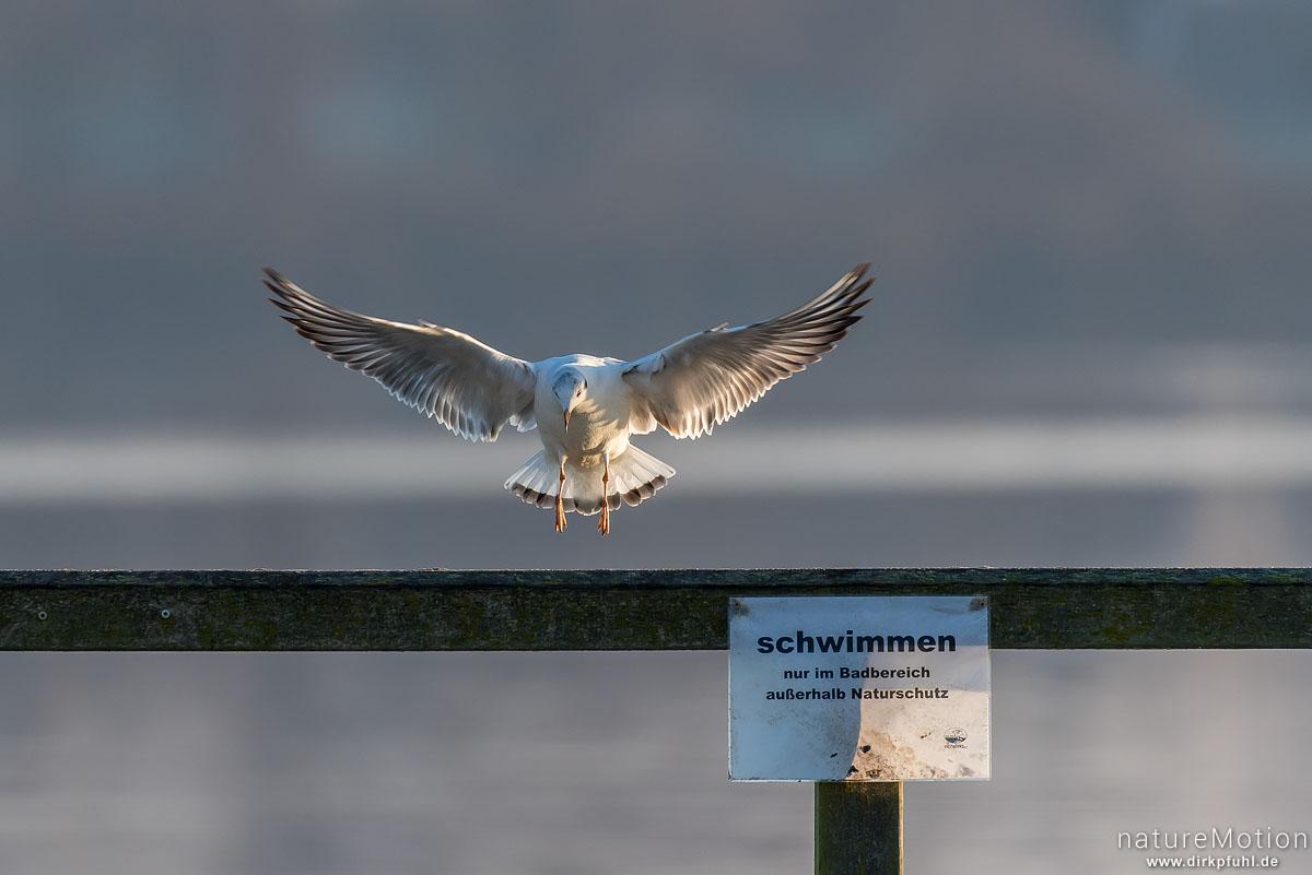 """Lachmöwe, Larus ridibundus, Laridae, Tier landet auf Geländer von Badesteg, Schild """"schwimmen nur im Badebereich"""", Seeburger See, Seeburger See, Deutschland"""