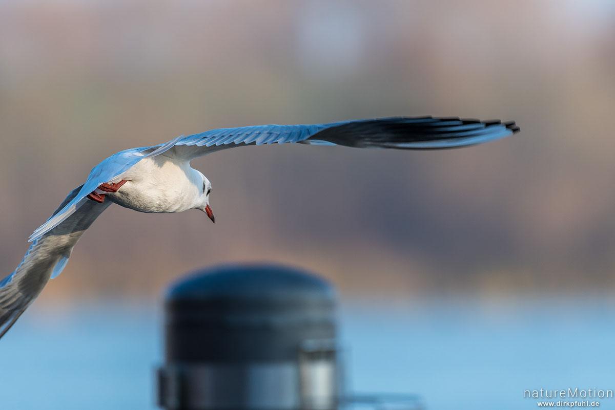 Lachmöwe, Larus ridibundus, Laridae, fliegendes Tier, Seeburger See, Deutschland