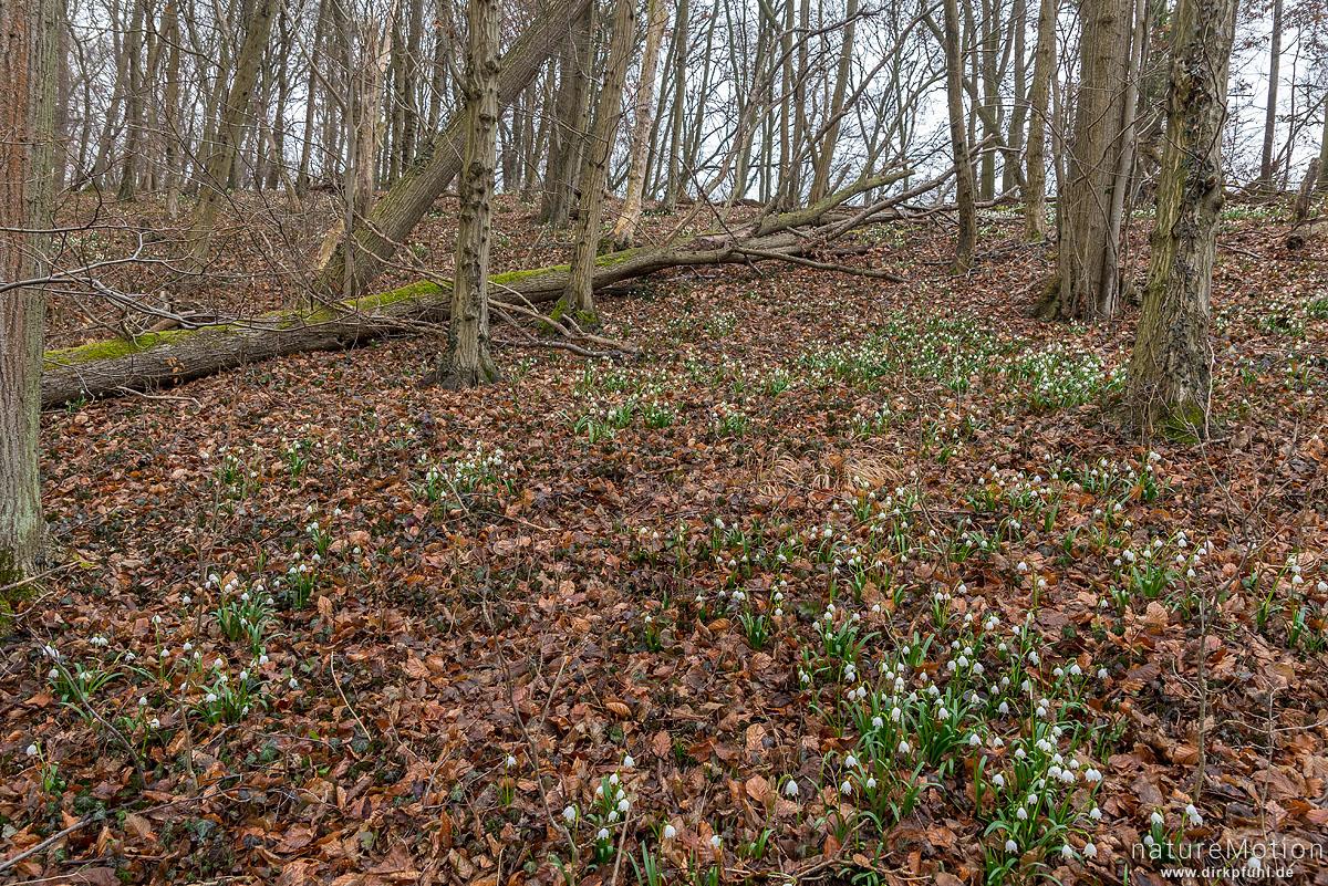 Märzenbecher, Leucojum vernum, Amaryllidaceae, Blüten, Westerberg, Göttingen, Deutschland