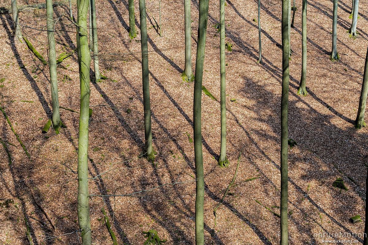 Buchenstämme werfen Schatten auf den Waldboden, Ravensberg, Bad Sachsa, Deutschland
