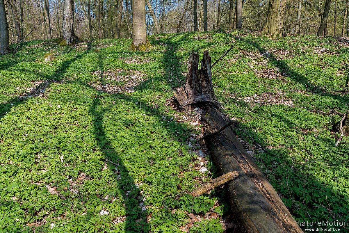 Schatten von Baumstämmen auf dem Waldboden, Buschwindröschen, Fischteiche an der Uffe, Karstweg, Walkenried, Deutschland