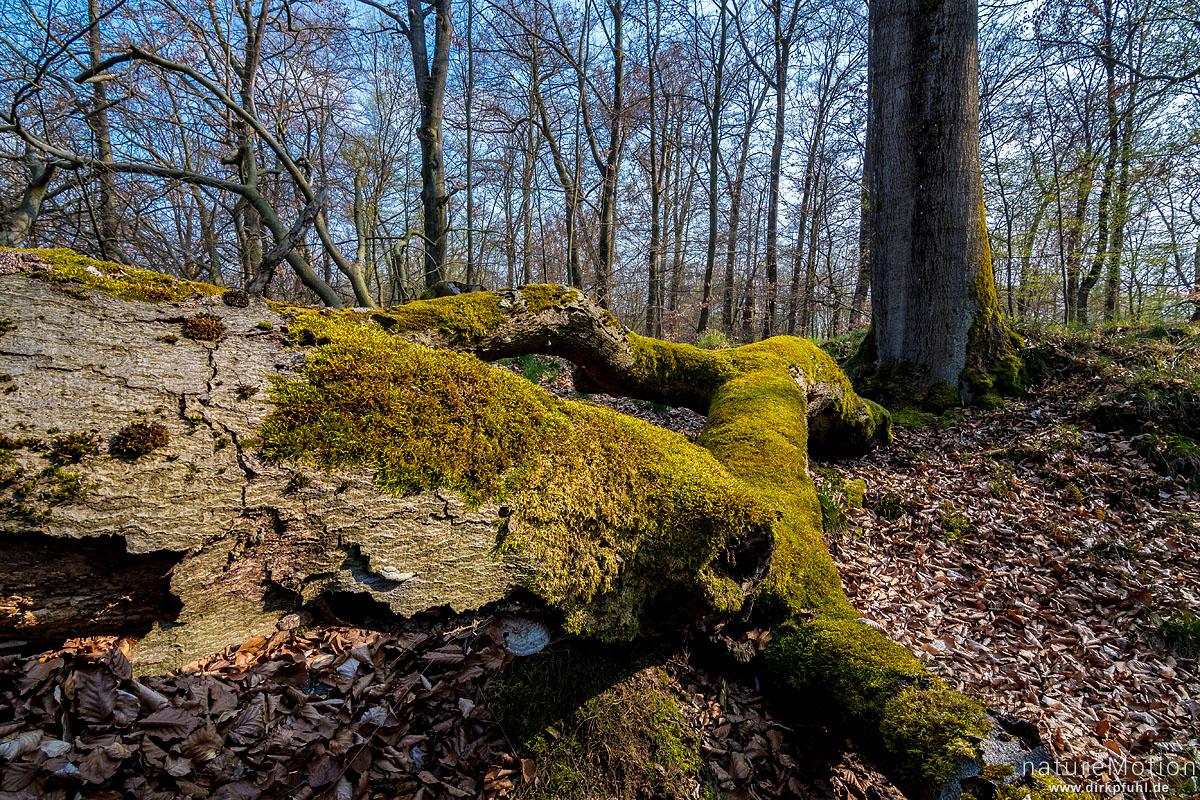 Wald mit knorrigen Bäumen, moosbewachsene Stämme, Gipskarst, Karstweg, Walkenried, Deutschland