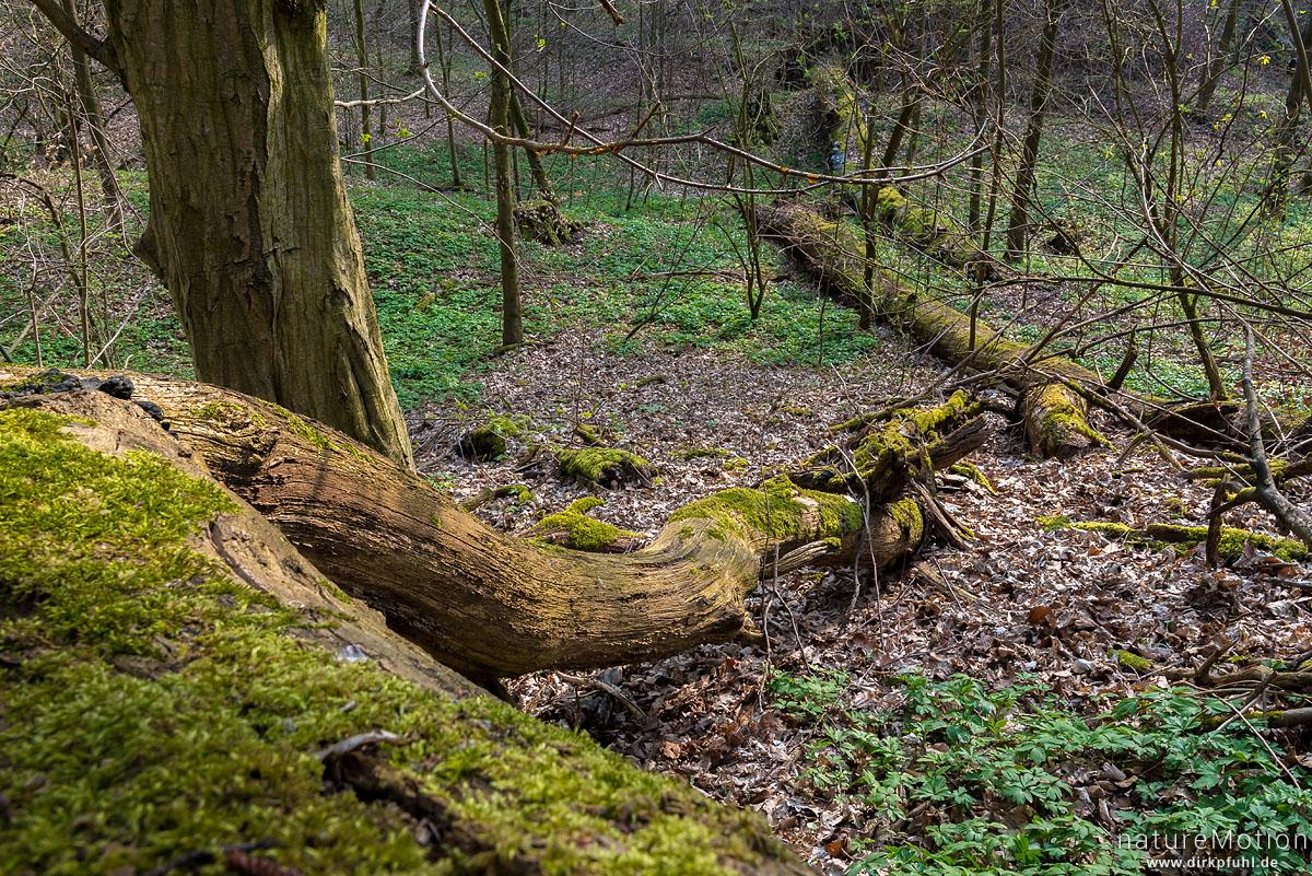 Auwald mit Buschwindröschen und Totholz, Fischteiche an der Uffe, Karstweg, Walkenried, Deutschland