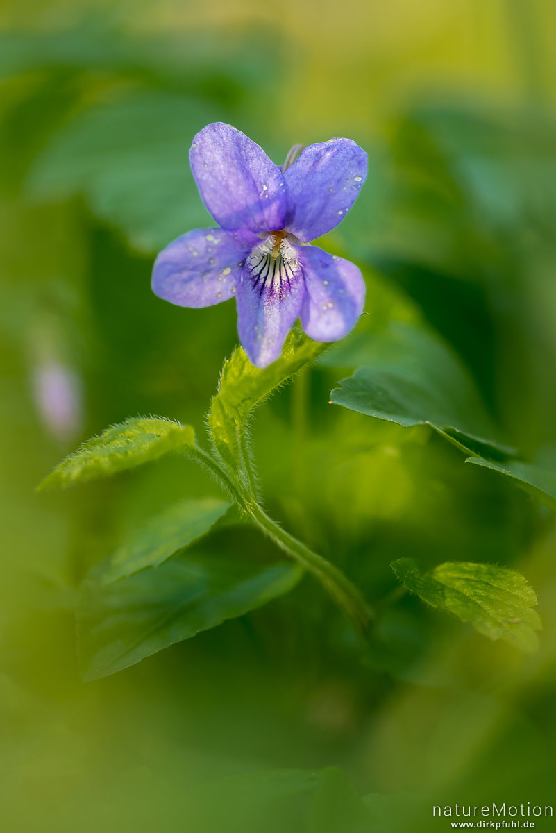 Wald-Veilchen, Viola reichenbachiana, Violaceae, Blüte, Göttinger Wald, Göttingen, Deutschland