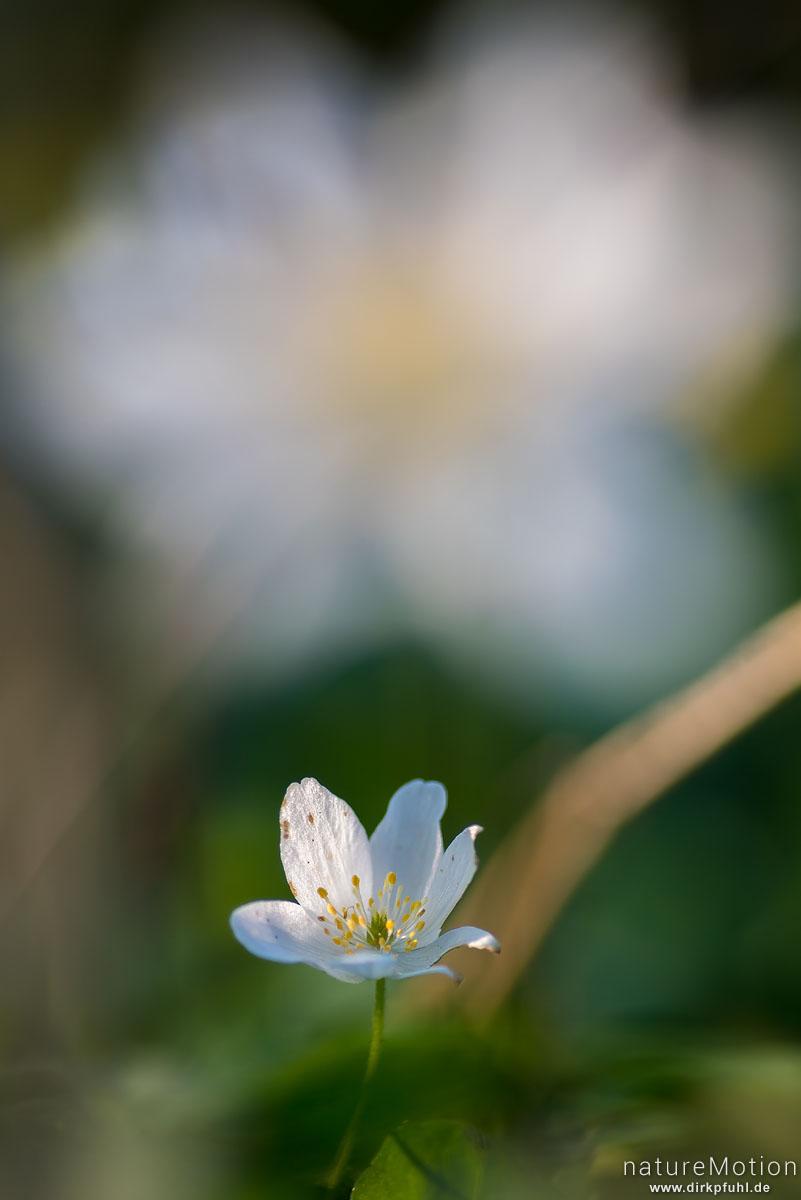 Buschwindröschen, Anemone nemorosa, Ranunculaceae, Blüte, Göttinger Wald, Göttingen, Deutschland