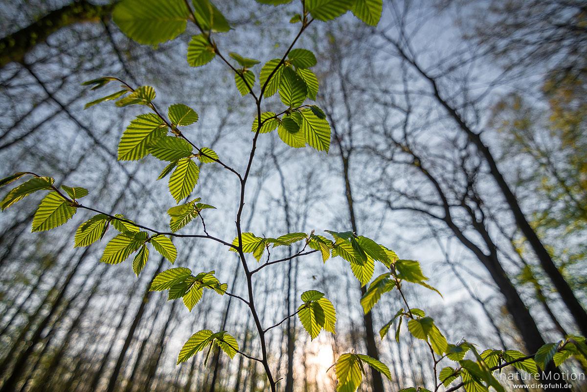 Hainbuche, Carpinus betulus, Betulaceae, frisch ausgetriebenes Laub im Gegenlicht, Göttinger Wald, Göttingen, Deutschland