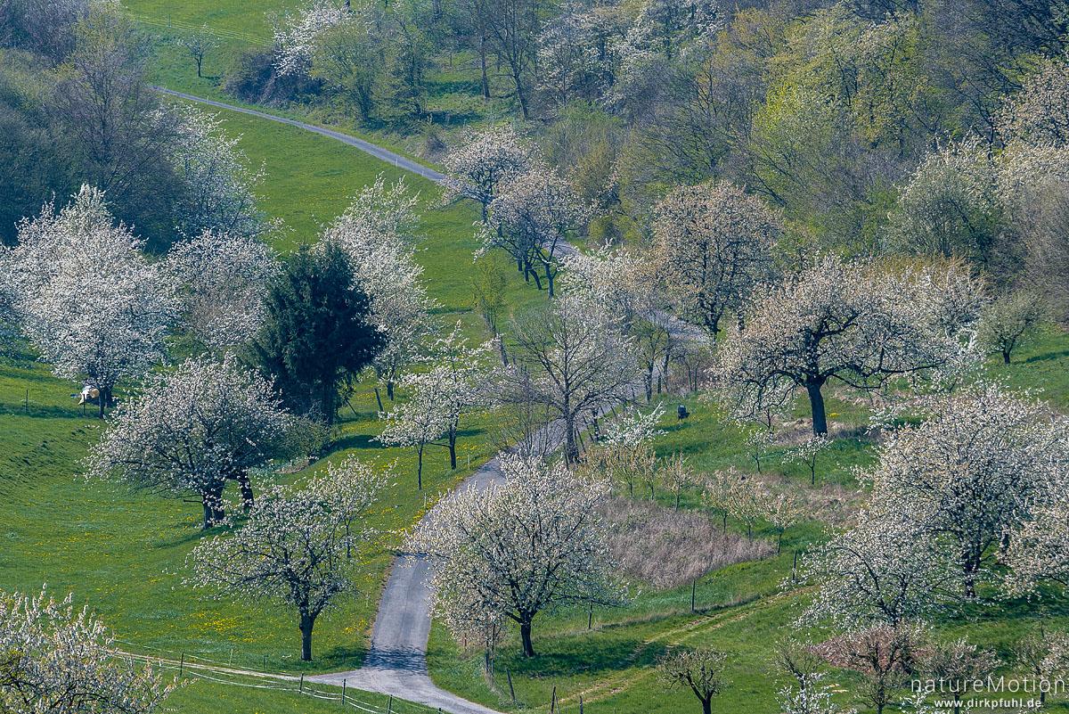 blühende Kirschbäume, Obstplantagen, Wendershausen bei Witzenhausen, Deutschland