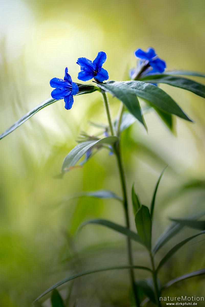 Blauroter Steinsame, Aegonychon purpurocaeruleum, Lithospermum purpurocaeruleum, Raublattgewächse (Boraginaceae), Westerberg, Göttingen, Deutschland