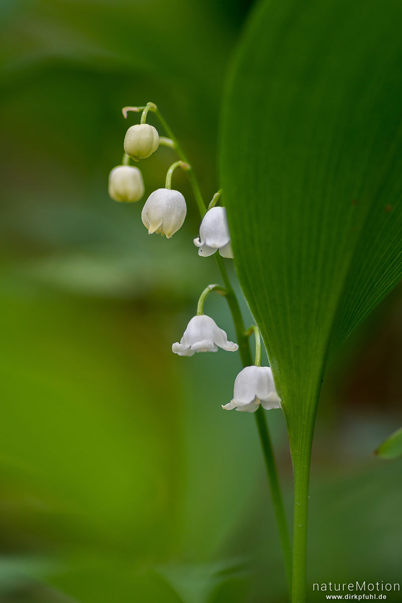 Maiglöckchen, Convallaria majalis, Spargelgewächse (Asparagaceae), Blütenstand, Westerberg, Göttinger Wald, Göttingen, Deutschland