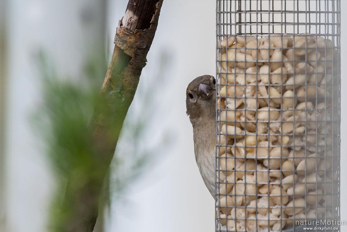 Haussperling, Spatz, Passer domesticus, Sperlinge (Passeridae), Weibchen an einer Futterstelle auf Balkon, Göttingen, Deutschland