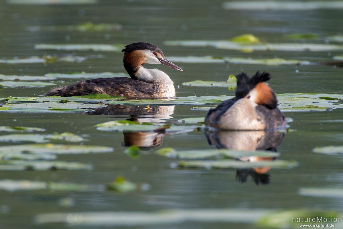Haubentaucher, Podiceps cristatus, Podicipedidae, Paar schwimmt zwischen Seerosenblättern, Seeburger See, Deutschland
