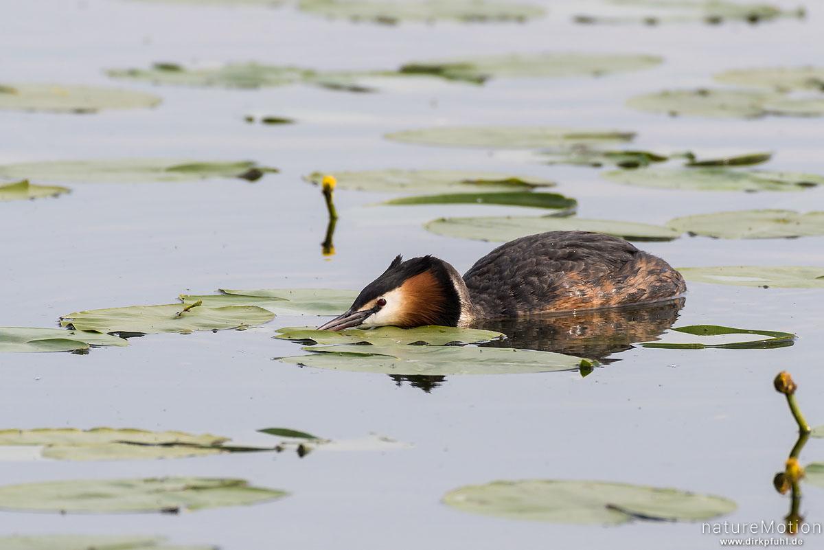 Haubentaucher, Podiceps cristatus, Podicipedidae, liegt auf Wasseroberfläche, Drohgebärde, Seeburger See, Deutschland