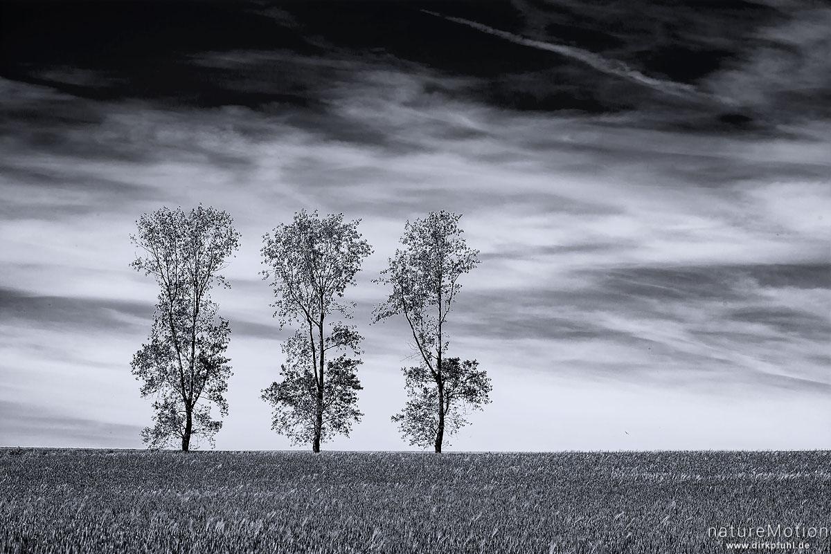 drei Birken vor blauem Himmel, davor Getreidefeld, Stöckey, Deutschland