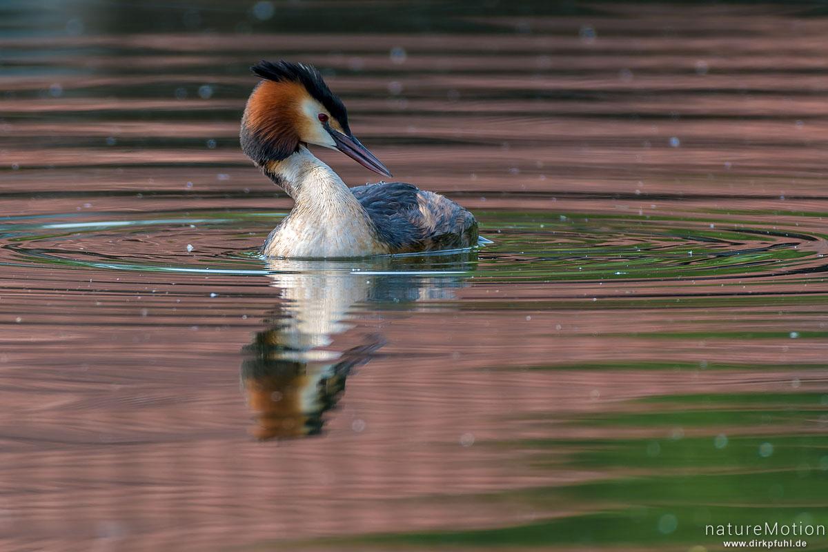 Haubentaucher, Podiceps cristatus, Podicipedidae, schwimmt zwischen Seerosenblättern, Seeburger See, Deutschland