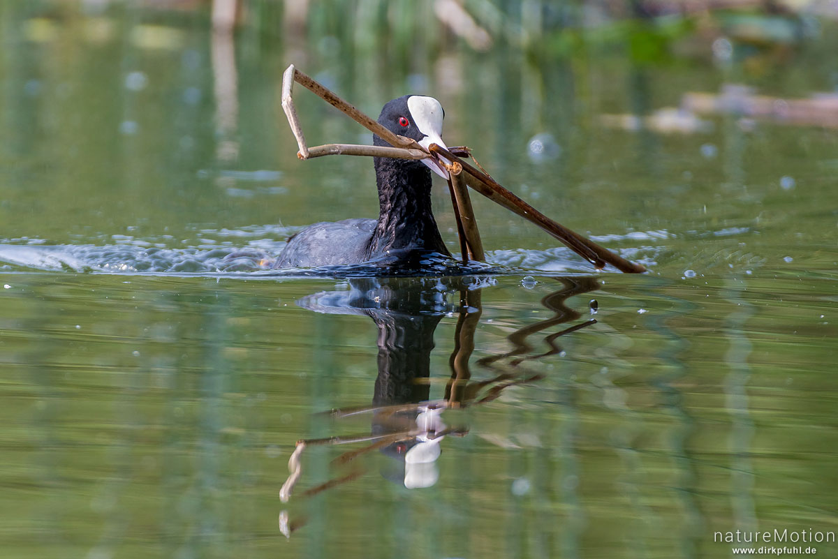 Bläßhuhn, Bläßralle, Fulica atra, Rallidae, Tier transportiert Nistmaterial, Seeburger See, Deutschland