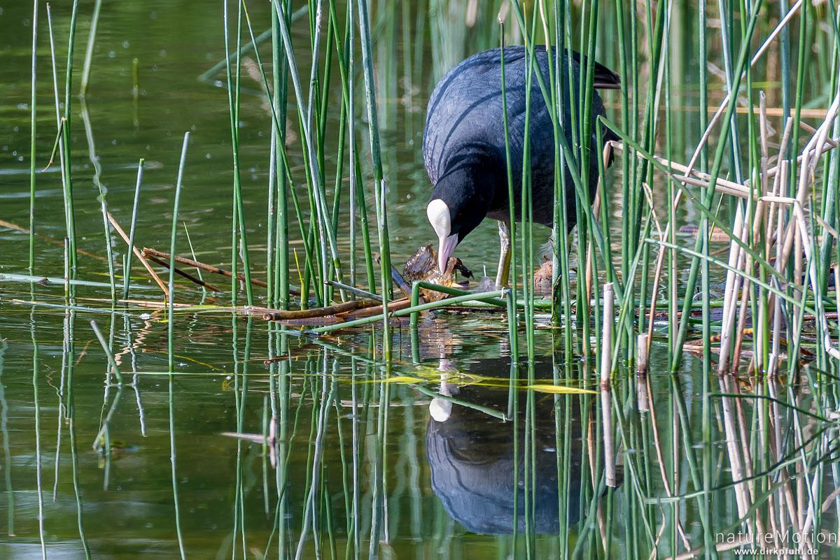 Bläßhuhn, Bläßralle, Fulica atra, Rallidae, Tier beim Nestbau zwischen Binsen, Seeburger See, Deutschland