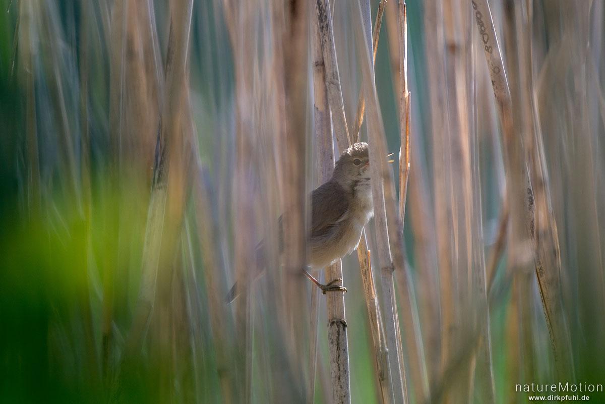 Sumpfrohrsänger, Acrocephalus palustris, Rohrsängerartige (Acrocephalidae),Männchenin dichtem Schilfbestand, singt, renaturierter Bereich südlich am Kiessee, Göttingen, Deutschland