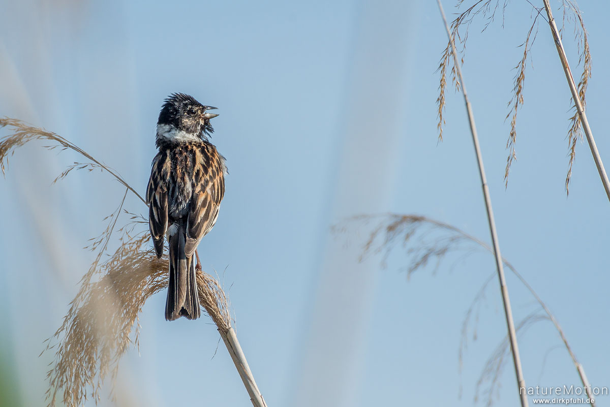 Rohrammer, Emberiza schoeniclus, Ammern (Emberizidae), Männchen, singt, sitzt im Schilf, renaturierter Bereich südlich am Kiessee, Göttingen, Deutschland