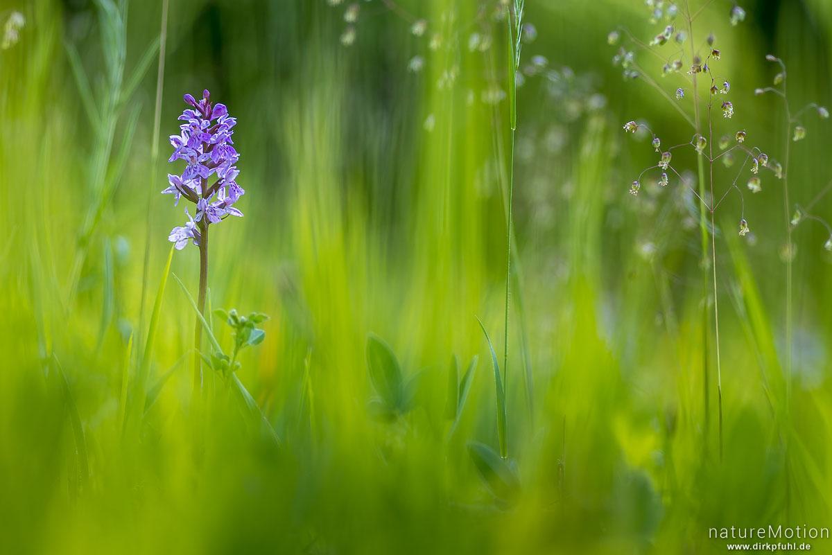 Geflecktes Knabenkraut, Dactylorhiza maculata, Orchideen (Orchidaceae) ,Blüten inmitten von Gäsern, Kerstlingeröder Feld, Göttingen, Deutschland