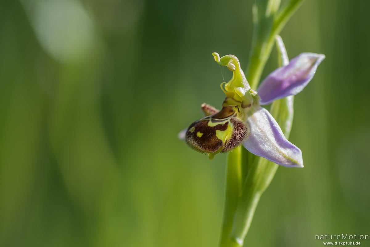 Bienen-Ragwurz, Ophrys apifera, Orchideen (Orchidaceae), Blüte, Kerstlingeröder Feld, Göttingen, Deutschland