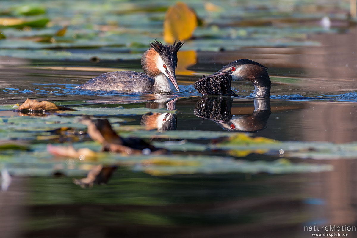 Haubentaucher, Podiceps cristatus, Podicipedidae, schwimmendes Tier mit Nistmaterial, Seeburger See, Deutschland