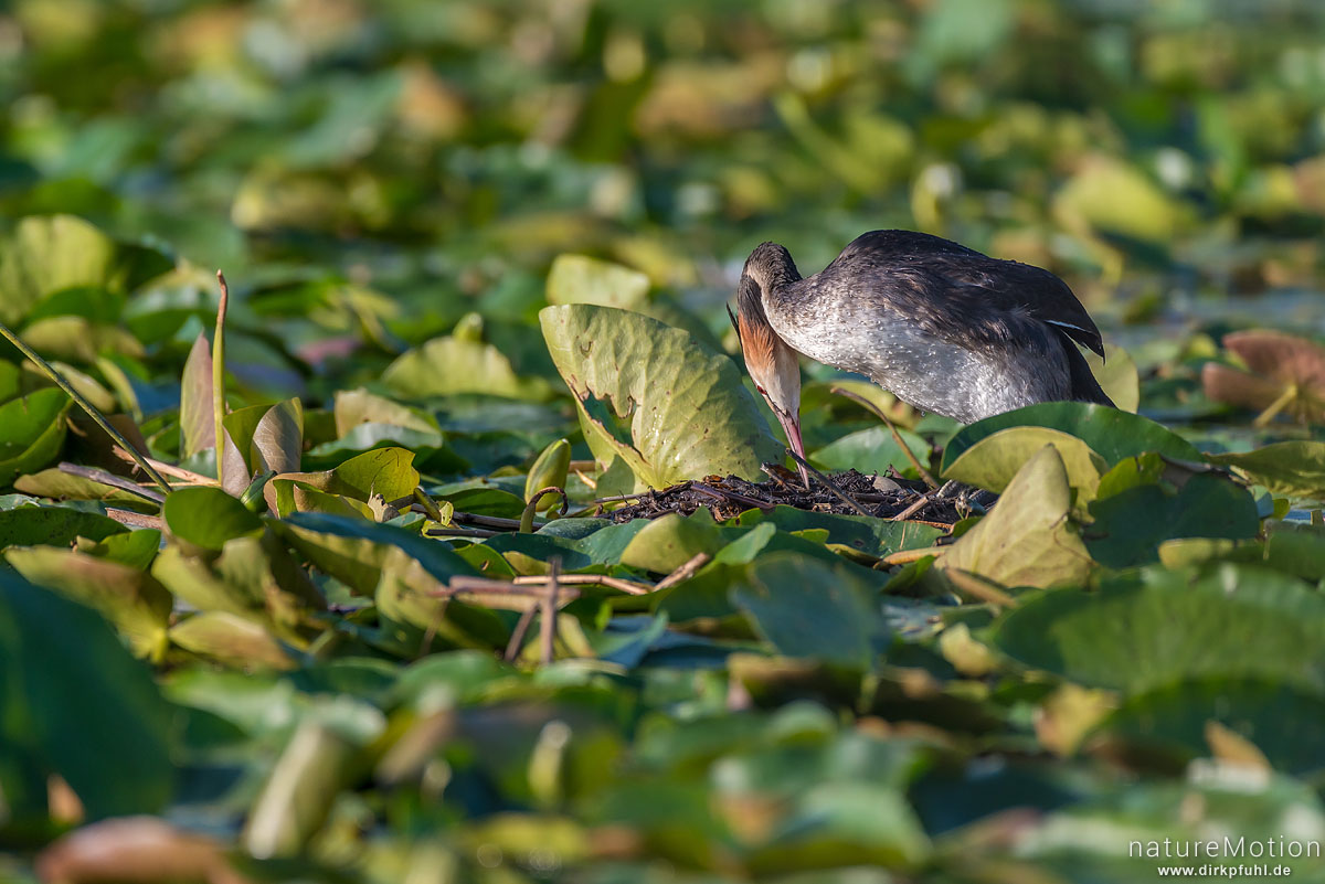 Haubentaucher, Podiceps cristatus, Podicipedidae, brütendes Tier auf Nest, Nest schwimmt inmitten von Seerosenblättern, Seeburger See, Deutschland