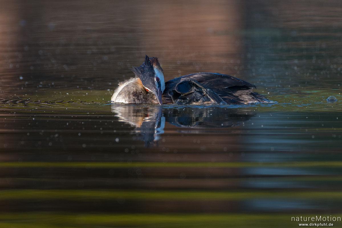 Haubentaucher, Podiceps cristatus, Podicipedidae, schwimmendes Tier, Gefiederpflege, Seeburger See, Deutschland