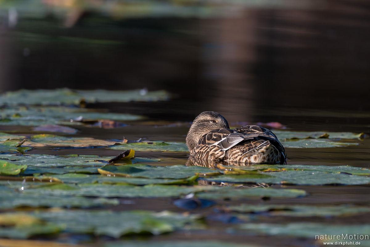 Stockente, Anas platyrhynchos, Anatidae, Weibchen, schwimmt zwischen Seerosenblättern, Seeburger See, Deutschland