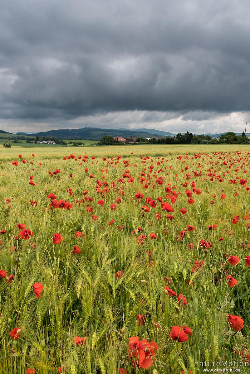 Klatsch-Mohn, Papaver rhoeas, Papaveraceae, Mohnblüten am Rand eines Roggenfeldes, Regenwolken, Neu-Eichenberg, Deutschland