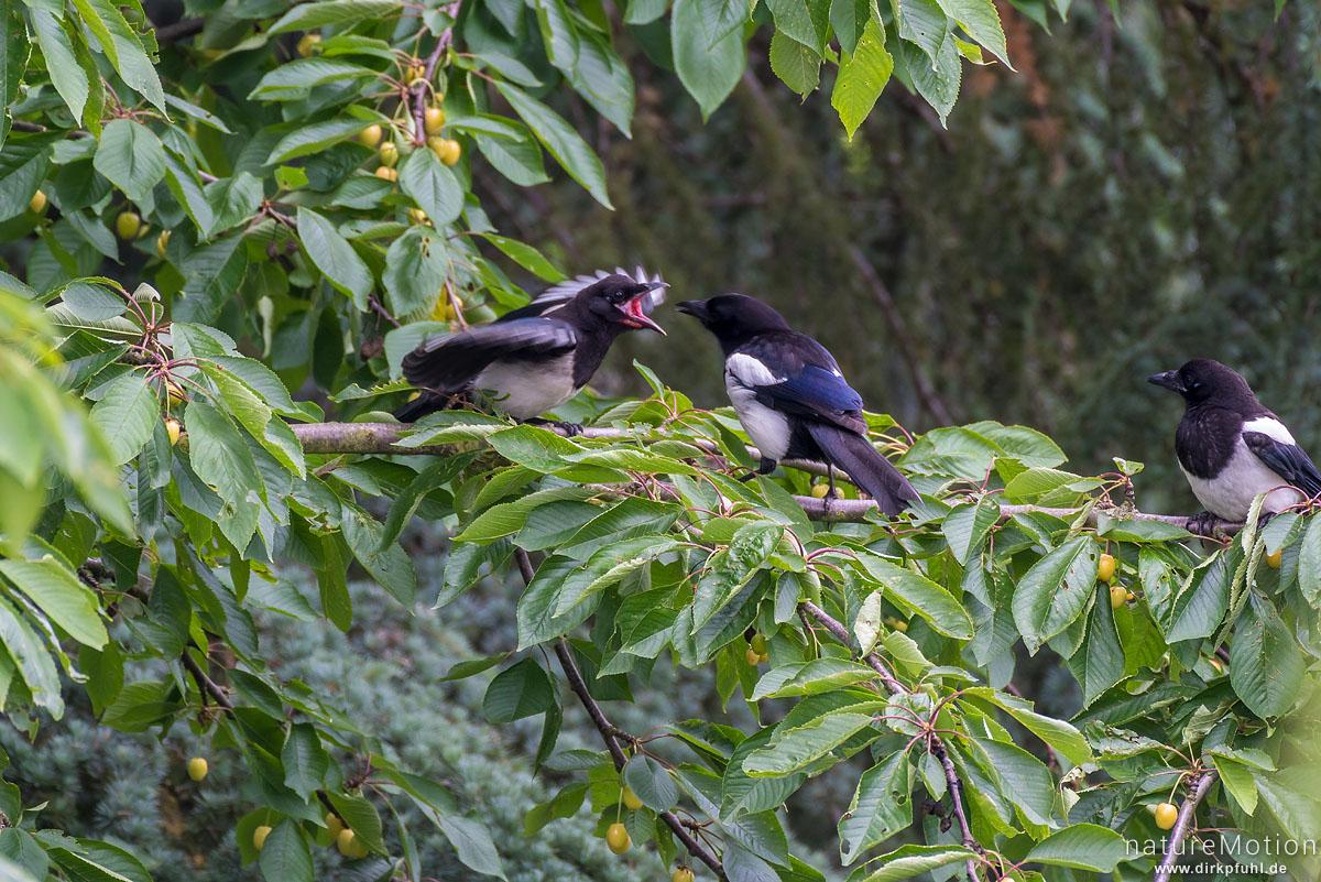 Elster, Pica pica, Rabenvögel (Corvidae), Altvogel füttert gerade Flügge gewordene Jungvögel mit Kirschen, Garten, Göttingen, Deutschland
