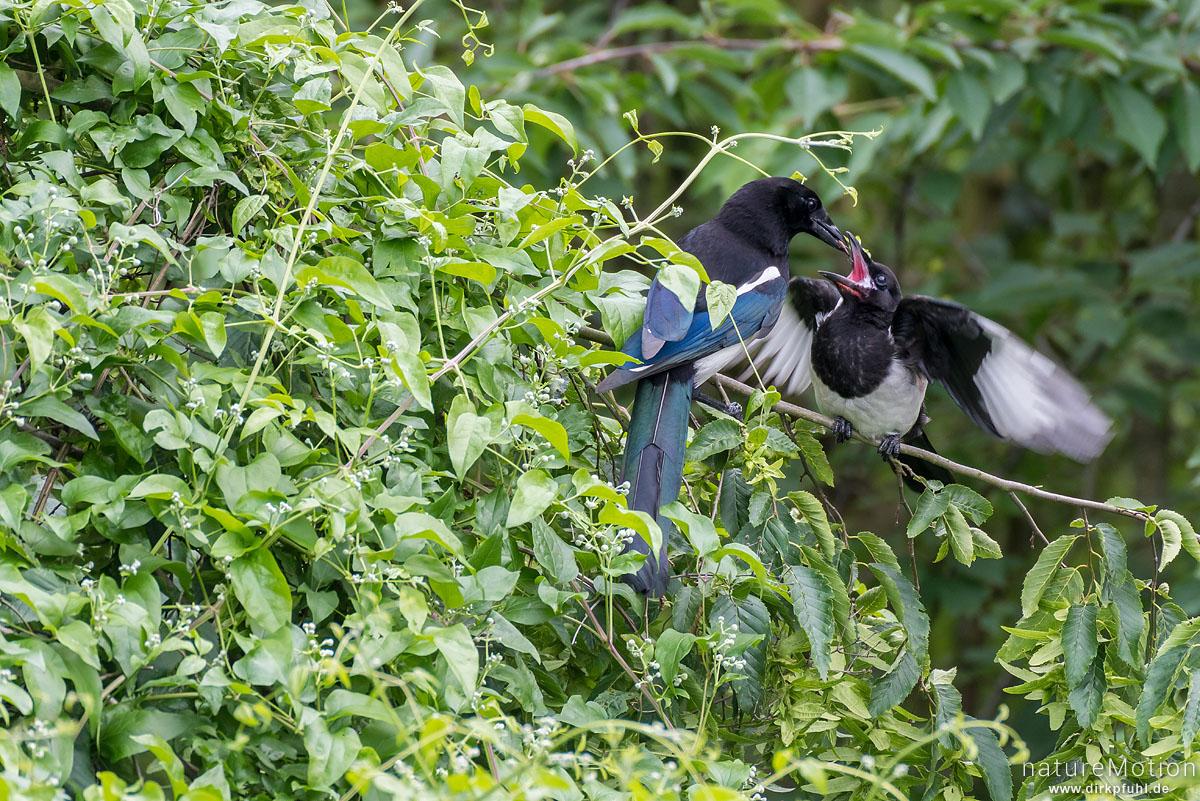 Elster, Pica pica, Rabenvögel (Corvidae), Alttier füttert gerade flügge gewordene Jungvögel, Garten, Göttingen, Deutschland