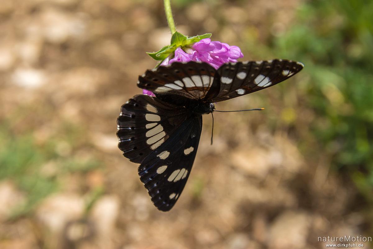 Blauschwarzer Eisvogel, Limenitis reducta, Edelfalter (Nymphalidae), Tier an Blütenstand von Teufelsabbiss, Apt - Provence, Frankreich