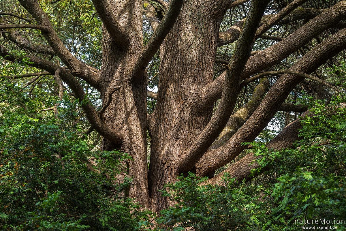 Atlas-Zeder, Cedrus atlantica, Kieferngewächse (Pinaceae), Stamm, Forêt des cèdres du Luberon, Bonnieux - Provence, Frankreich
