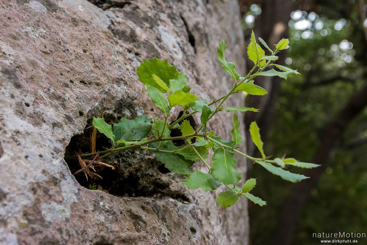Stechpalme, Ilex aquifolium, Aquifoliaceae, Schössling in Felsspalte, Dschungel im Tal des Aigue Brun, Bonnieux - Provence, Frankreich