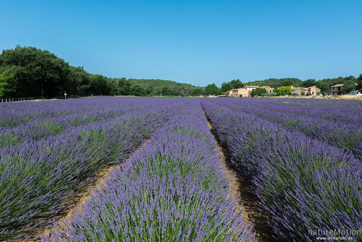 Echter Lavendel, Lavandula angustifolia, Lippenblütler (Lamiaceae), Lavendelfeld, Roussillon - Provence, Frankreich