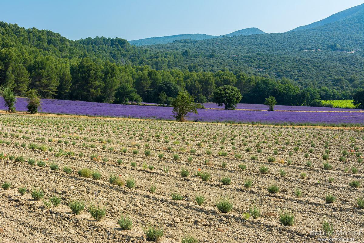 Echter Lavendel, Lavandula angustifolia, Lippenblütler (Lamiaceae), Lavendelfeld mit frisch gesetzten und noch nicht blühenden Pflanzen, dahinter blühendes Feld, Rustrel - Provence, Frankreich