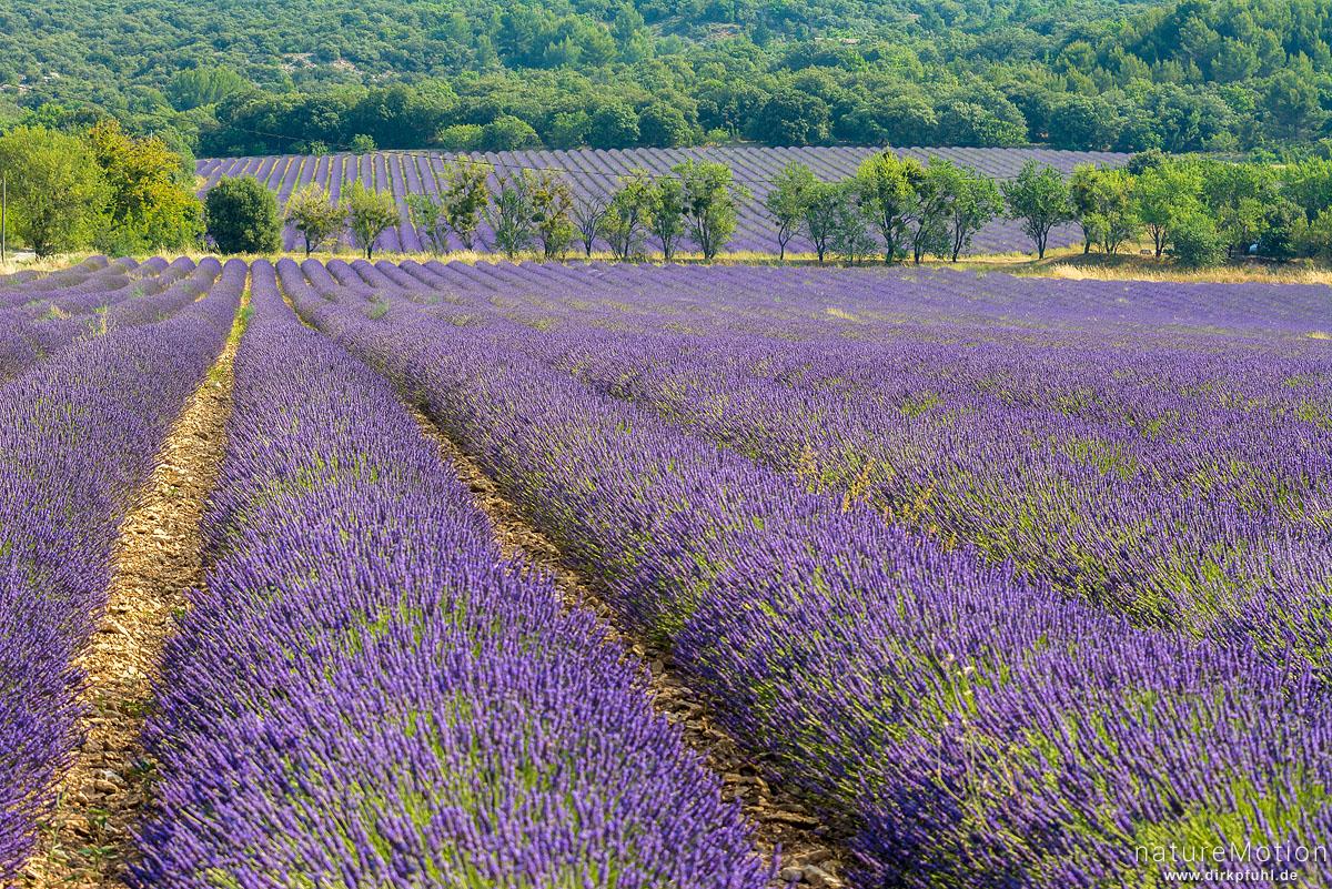 Echter Lavendel, Lavandula angustifolia, Lippenblütler (Lamiaceae), Lavendelfeld, Rustrel - Provence, Frankreich