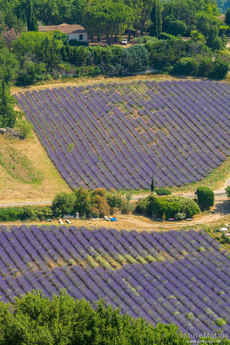 Lavendelfelder unterhalb des Rocher de Bellevue de Saignon, Saignon - Provence, Frankreich