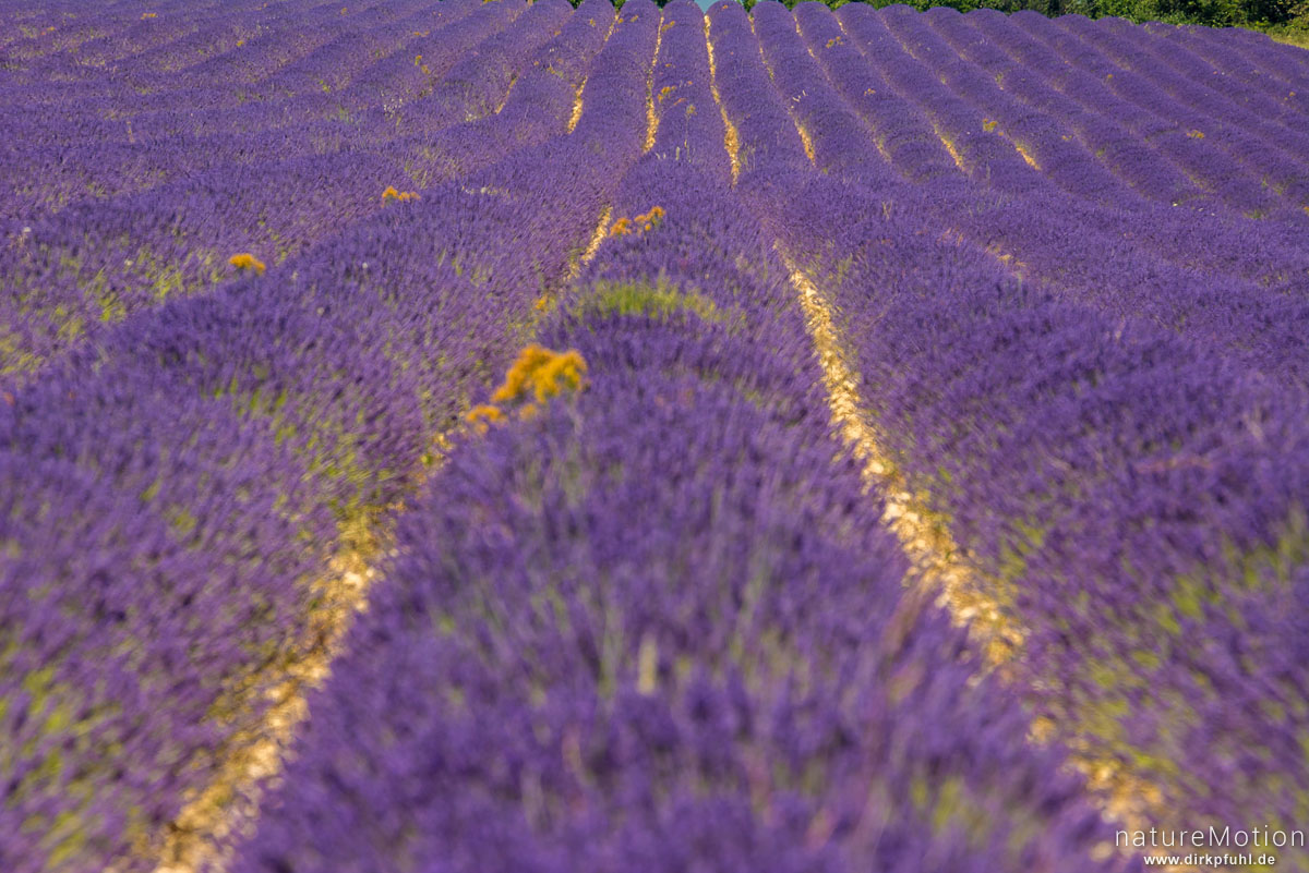 Echter Lavendel, Lavandula angustifolia, Lippenblütler (Lamiaceae), Lavendelfeld, Saignon - Provence, Frankreich