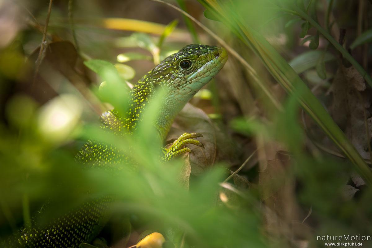 Westliche Smaragdeidechse, Lacerta bilineata, Lacertidae, Männchen, versteckt im Gebüsch, Causses Mejean, La Malene, Frankreich