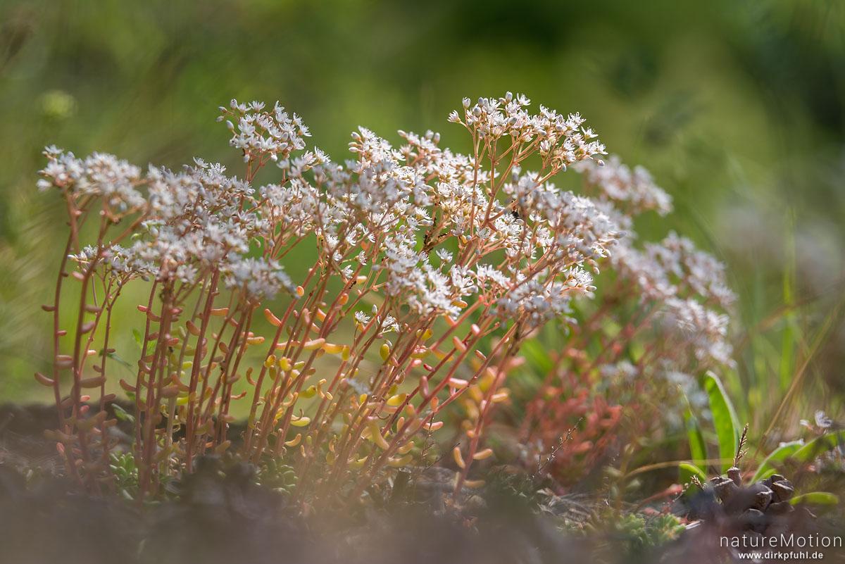 Weiße Fetthenne, Weißer Mauerpfeffer, Sedum album, Dickblattgewächse (Crassulaceae), (?), Causses Mejean, Le Rozier, Frankreich