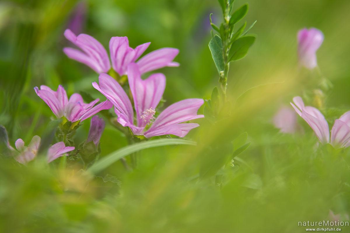 Wilde Malve, Malva sylvestris, Malvengewächse (Malvaceae), Blüten, Casagnes, Le Rozier, Frankreich