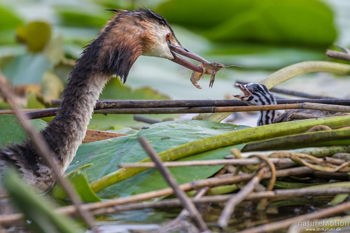 Haubentaucher, Podiceps cristatus, Podicipedidae, Alttiere auf ihrem Nest, Küken wird mit Krebs gefüttert, Seeburger See, Deutschland