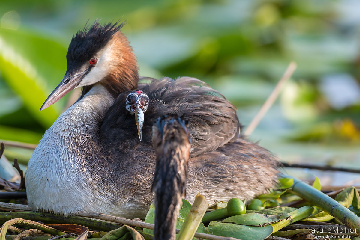 Haubentaucher, Podiceps cristatus, Podicipedidae, Alttiere auf ihrem Nest, Küken wird gefüttert, Seeburger See, Deutschland