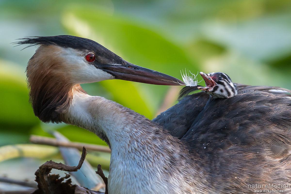 Haubentaucher, Podiceps cristatus, Podicipedidae, Alttiere auf ihrem Nest, Küken wird mit Federn gefüttert, Seeburger See, Deutschland