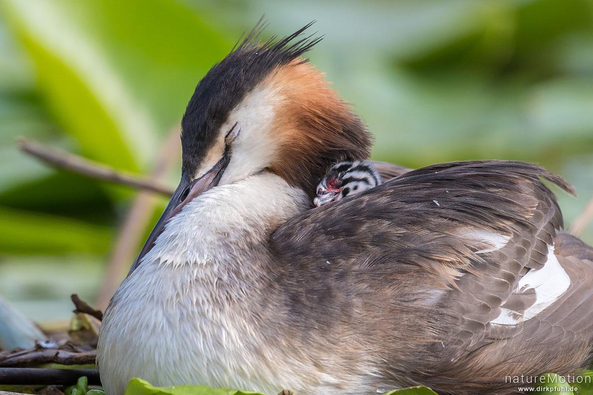 Haubentaucher, Podiceps cristatus, Podicipedidae, Alttiere auf ihrem Nest, Küken sitzt im Gefieder eines Alttiers, Seeburger See, Deutschland