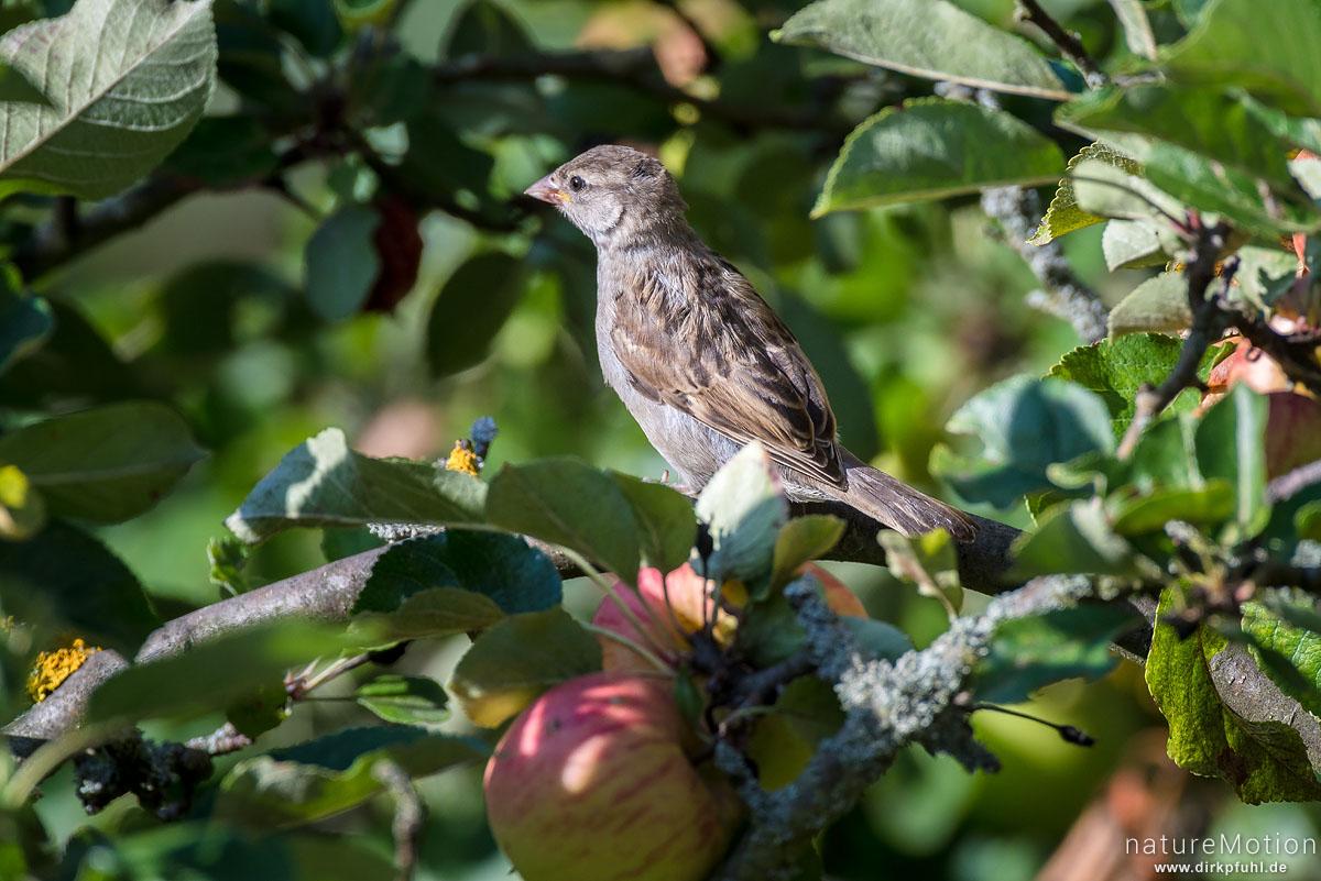 Haussperling, Spatz, Passer domesticus, Sperlinge (Passeridae), in Apfelbaum, Garten Am Weißen Steine, Göttingen, Deutschland