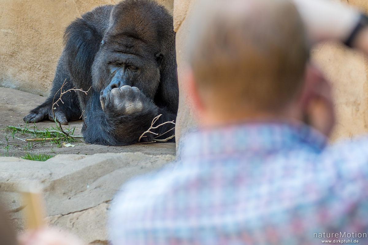 Westlicher Flachlandgorilla, Gorilla gorilla gorilla, Menschenaffen (Hominidae),Männchen, von Zoobesuchern fotografiert, Zoo Hannover, captive, Hannover, Deutschland