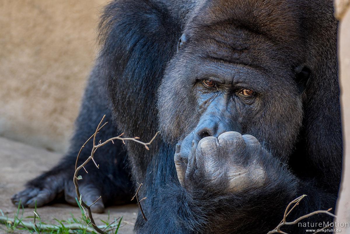 Westlicher Flachlandgorilla, Gorilla gorilla gorilla, Menschenaffen (Hominidae),Männchen, Zoo Hannover, captive, Hannover, Deutschland